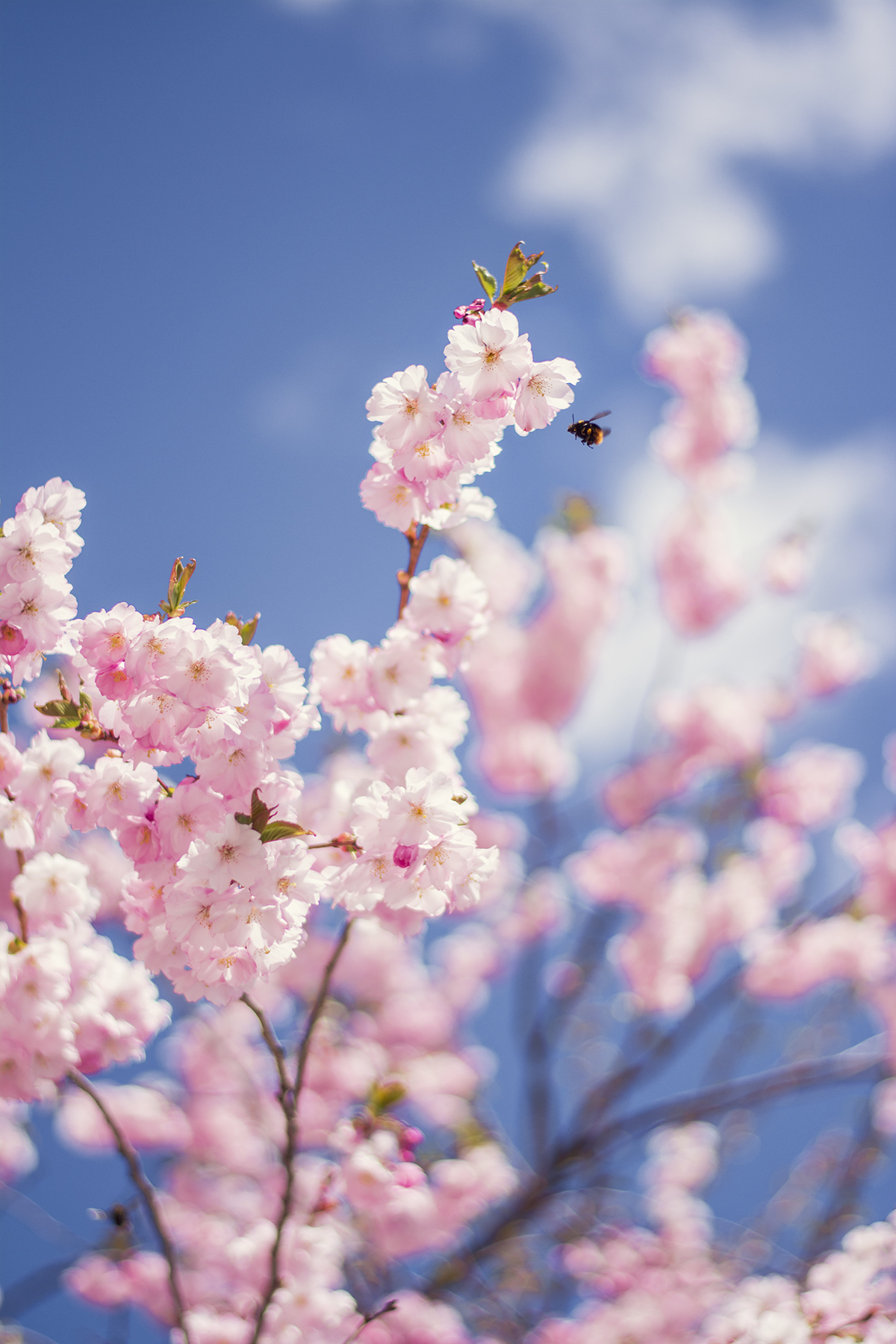Humlorna i den rosa trädgården.