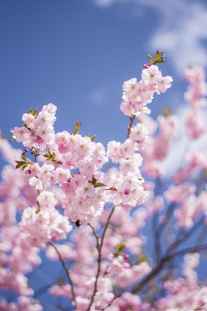 blommade vår blommor sunne 854 copy